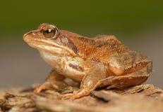 蛙属temporaria 免版税库存照片