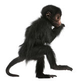 蛛猴属面对猴子paniscus红蜘蛛 免版税库存图片