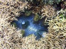 蛤蜊巨人 免版税图库摄影