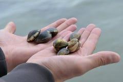 蛤蜊渔 拿着新鲜的蛤蜊的手 图库摄影