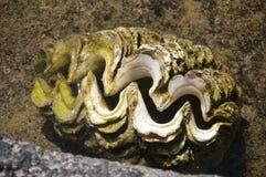 蛤蜊西部萨摩亚的壳 免版税库存照片
