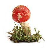 蛤蟆菌伞形毒蕈muscaria蘑菇 免版税库存图片