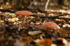蛤蟆菌在森林里 免版税库存照片