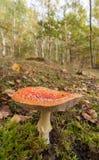 蛤蟆菌蘑菇在桦树森林地 免版税库存照片