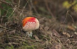 蛤蟆菌蘑菇在秋天森林里 库存图片