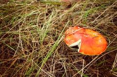 蛤蟆菌蘑菇特写镜头 免版税库存照片