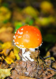蛤蟆菌 库存照片