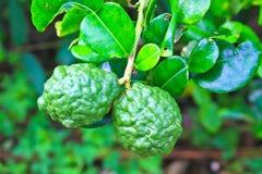水蛭在树的石灰或香柠檬果子 免版税库存照片