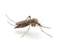 水蛭蚊子(蚊虫pipiens) 免版税库存图片