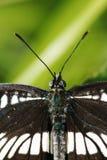 蛱蝶科 库存图片