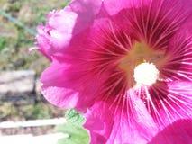 蜀葵在阳光下 库存照片