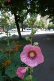 蜀葵笔直词根与桃红色花的 免版税图库摄影