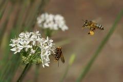 蜂、大蒜& x28飞行和花; Allium& x29; 免版税库存照片
