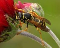 黄蜂。 免版税图库摄影