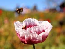 蜂与五颜六色的花一起使用 库存图片