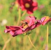 蜂亲吻花 图库摄影