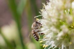 蜂从一朵开花的白色大蒜花收集花粉 免版税库存图片