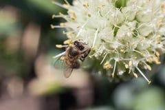 蜂从一朵开花的白色大蒜花收集花粉 图库摄影