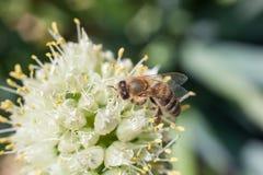 蜂从一朵开花的白色大蒜花收集花粉 免版税库存照片
