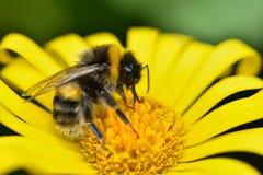 蜂从一朵黄色延命菊雏菊收集花粉 免版税库存照片