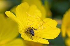 蜂从一朵黄色花收集花粉在庭院里 免版税库存照片