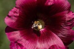 蜂从冬葵花收集花粉在庭院里 免版税库存图片