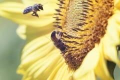 蜂从在桔子被弄脏的ba的一朵向日葵花收集花蜜 免版税库存照片