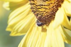 蜂从在桔子被弄脏的ba的一朵向日葵花收集花蜜 免版税库存图片