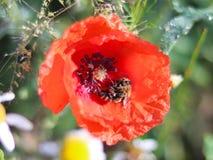 蜂从在绿色背景的一朵红色领域花收集花粉 一棵领域植物和昆虫的宏观照片在太阳光芒  图库摄影