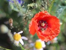 蜂从在绿色背景的一朵红色领域花收集花粉 一棵领域植物和昆虫的宏观照片在太阳光芒  库存图片