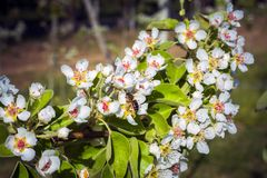 蜂从开花的洋梨树收集蜂蜜 免版税库存照片