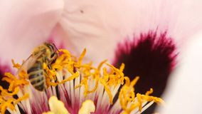 蜂从牡丹的开花的花收集花蜜 一只蜂的特写镜头在超级慢动作的 股票录像