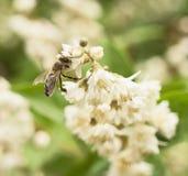 蜂从白花吮花蜜 免版税图库摄影