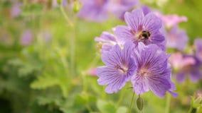 蜂从紫色开花的花收集花蜜
