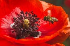 蜂从红色鸦片花收集花粉 免版税库存照片