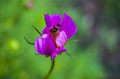 蜂从花收集花粉 免版税图库摄影