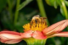 蜂从花收集花蜜 免版税库存照片