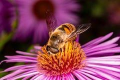 蜂从花收集花蜜 免版税图库摄影