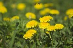 蜂从花飞行 免版税库存照片