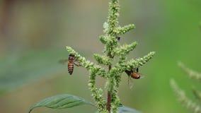 蜂从苗条白苋花收集甜花蜜 免版税库存图片