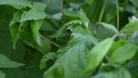 蜂从莓花收集花蜜,由昆虫的莓授粉 影视素材