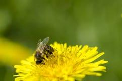 蜂从黄色蒲公英收集在腿的黄色花蜜 库存图片