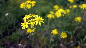 蜂从黄色野生春黄菊收集花粉 蜂授粉与雏菊的一个领域 股票视频