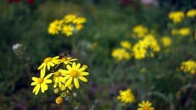 蜂从黄色野生春黄菊收集花粉 蜂授粉与雏菊的一个领域