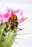 蜂仙人掌 免版税库存图片