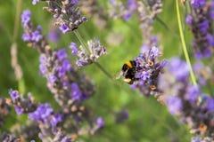 蜂会集从花的蜂蜜 免版税库存照片
