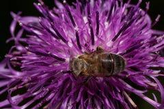 蜂会集从蓟花的花蜜 在野生生物的动物 库存照片