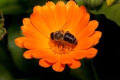 蜂会集从金盏草花的花蜜 在野生生物的动物 库存图片