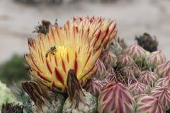蜂会集花蜜 库存照片