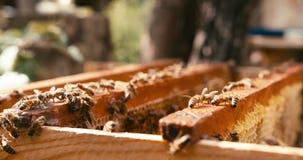 蜂传热花蜜入在蜂窝的蜂蜜在蜂房 没有人民 4k英尺长度 红色照相机射击 股票录像